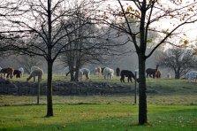 Stutenherde grasend im Herbst