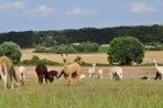 Alpakas auf den Hügeln der Uckermark