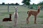 Neugierige Fohlen