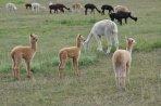 Fohlen in der Stutenherde